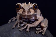Διευθυνμένος κορώνα βάτραχος δέντρων, spinosa Anotheca στοκ φωτογραφίες