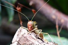 Διευθυνμένο δράκος Katydid στοκ εικόνα