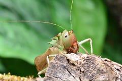 Διευθυνμένο δράκος Katydid στοκ φωτογραφία