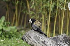 διευθυνμένο marmoset λευκό στοκ φωτογραφίες με δικαίωμα ελεύθερης χρήσης