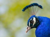 διευθύνετε peacock Στοκ φωτογραφία με δικαίωμα ελεύθερης χρήσης