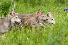 Δικαίωμα τρεξίματος τριών γκρίζο κουταβιών λύκων (Λύκος Canis) Στοκ Εικόνες