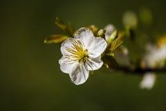 Δικαίωμα υψηλό - εικόνα ποιοτικών ελεύθερη αποθεμάτων του άσπρου λουλουδιού Ochna Integerima Το Ochna είναι σύμβολο του βιετναμέζ Στοκ φωτογραφίες με δικαίωμα ελεύθερης χρήσης