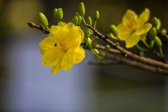 Δικαίωμα υψηλό - εικόνα ποιοτικών ελεύθερη αποθεμάτων του λουλουδιού Ochna Το Ochna είναι σύμβολο του βιετναμέζικου παραδοσιακού  Στοκ εικόνα με δικαίωμα ελεύθερης χρήσης