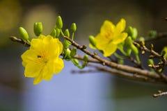 Δικαίωμα υψηλό - εικόνα ποιοτικών ελεύθερη αποθεμάτων του λουλουδιού Ochna Το Ochna είναι σύμβολο του βιετναμέζικου παραδοσιακού  Στοκ Φωτογραφία