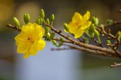 Δικαίωμα υψηλό - εικόνα ποιοτικών ελεύθερη αποθεμάτων του λουλουδιού Ochna Το Ochna είναι σύμβολο του βιετναμέζικου παραδοσιακού  Στοκ Φωτογραφίες