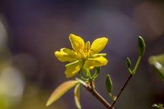 Δικαίωμα υψηλό - εικόνα ποιοτικών ελεύθερη αποθεμάτων του λουλουδιού Ochna Το Ochna είναι σύμβολο του βιετναμέζικου παραδοσιακού  Στοκ Εικόνα