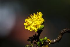Δικαίωμα υψηλό - εικόνα ποιοτικών ελεύθερη αποθεμάτων του λουλουδιού Ochna Το Ochna είναι σύμβολο του βιετναμέζικου παραδοσιακού  Στοκ Εικόνες