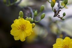 Δικαίωμα υψηλό - εικόνα ποιοτικών ελεύθερη αποθεμάτων του λουλουδιού Ochna Το Ochna είναι σύμβολο του βιετναμέζικου παραδοσιακού  Στοκ φωτογραφίες με δικαίωμα ελεύθερης χρήσης