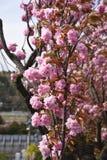 Διπλά άνθη κερασιών στοκ φωτογραφία με δικαίωμα ελεύθερης χρήσης
