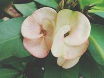 διπλά λουλούδια στοκ φωτογραφία με δικαίωμα ελεύθερης χρήσης