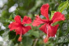 Διπλά hibiscus με 5 πέταλα το απόγευμα στοκ φωτογραφία με δικαίωμα ελεύθερης χρήσης