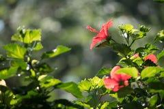 Διπλά hibiscus στον κήπο στοκ φωτογραφίες με δικαίωμα ελεύθερης χρήσης