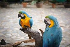 Διπλοί άγριοι παπαγάλοι bule Στοκ φωτογραφία με δικαίωμα ελεύθερης χρήσης