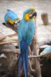 Διπλοί άγριοι παπαγάλοι bule Στοκ Φωτογραφία
