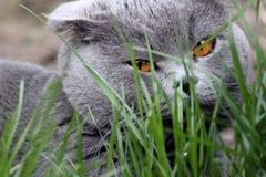 Διπλωμένο σκωτσέζικο τιγρέ γατάκι αυτιών στοκ εικόνες με δικαίωμα ελεύθερης χρήσης