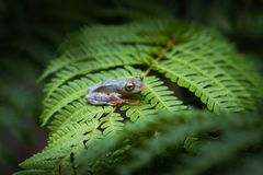Διπλός-επισημασμένος βάτραχος δέντρων Rhacophorus bipunctatus, πορτοκαλής-webbed στοκ φωτογραφία με δικαίωμα ελεύθερης χρήσης