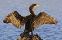 Διπλός-λοφιοφόρα ξεραίνοντας φτερά κορμοράνων Στοκ φωτογραφία με δικαίωμα ελεύθερης χρήσης