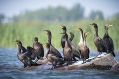 Διπλός-λοφιοφόροι κορμοράνοι που στηρίζονται κοντά σε ένα νησί του ποταμού ST-Lawrence στοκ εικόνες
