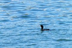 Διπλός λοφιοφόρος κορμοράνος που κολυμπά στο μπλε νερό Στοκ Εικόνες