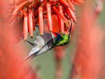 Διπλός-πιαμένο Sunbird Στοκ φωτογραφία με δικαίωμα ελεύθερης χρήσης