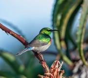 Διπλός-πιαμένο Sunbird Στοκ Εικόνες