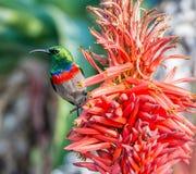 Διπλός-πιαμένο Sunbird Στοκ Φωτογραφίες