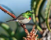 Διπλός-πιαμένο Sunbird Στοκ φωτογραφίες με δικαίωμα ελεύθερης χρήσης