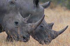 διπλός ρινόκερος στοκ φωτογραφία με δικαίωμα ελεύθερης χρήσης