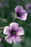 διπλό γεράνι λουλουδιών Στοκ Φωτογραφίες