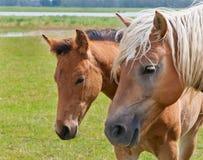 διπλό foal το πορτρέτο φοράδων  Στοκ Φωτογραφίες