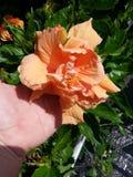 Διπλά πορτοκαλιά hibiscus Στοκ Εικόνα