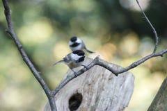 Διπλά chickadees Στοκ Εικόνες