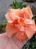 Διπλά hibiscus ροδάκινων Στοκ φωτογραφία με δικαίωμα ελεύθερης χρήσης