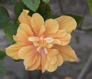 Διπλά Hibiscus σε ανοικτό πορτοκαλί Στοκ φωτογραφία με δικαίωμα ελεύθερης χρήσης