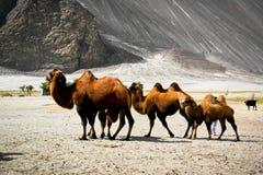 Διπλές καμήλες εξογκωμάτων Στοκ Εικόνες