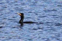 Διπλή λοφιοφόρη κολύμβηση κορμοράνων Στοκ φωτογραφία με δικαίωμα ελεύθερης χρήσης