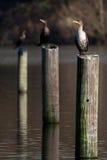 Διπλοί λοφιοφόροι κορμοράνοι Στοκ Φωτογραφία