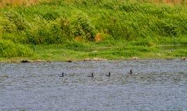 Διπλός-λοφιοφόρος κορμοράνος που κολυμπά σε έναν ποταμό Στοκ φωτογραφίες με δικαίωμα ελεύθερης χρήσης