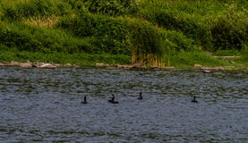 Διπλός-λοφιοφόρος κορμοράνος που κολυμπά σε έναν ποταμό Στοκ Εικόνες