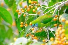 Διπλός-eyed παπαγάλος σύκων από το Queensland, Αυστραλία Στοκ Εικόνες