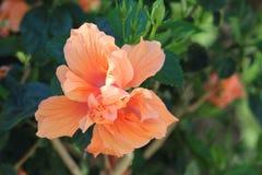 Διπλό πορτοκαλί Hibiscus λουλούδι Στοκ φωτογραφίες με δικαίωμα ελεύθερης χρήσης