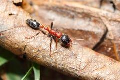 Δις-χρωματισμένο δενδρικό μυρμήγκι στοκ φωτογραφίες