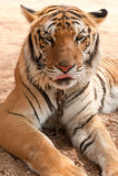 διψασμένη τίγρη 2 Στοκ Εικόνα