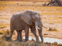 Διψασμένος ελέφαντας Στοκ εικόνα με δικαίωμα ελεύθερης χρήσης
