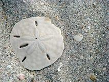 Δολάριο άμμου Στοκ Φωτογραφίες