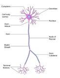 Δομή του νευρώνα Στοκ Εικόνα