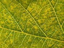 Δομή του πράσινου φύλλου στοκ φωτογραφία με δικαίωμα ελεύθερης χρήσης