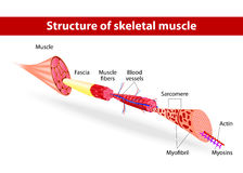 Δομή του σκελετικού μυός διανυσματική απεικόνιση