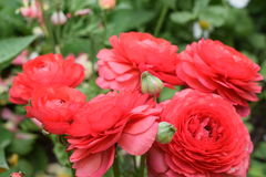 Δονούμενα και όμορφα κόκκινα τριαντάφυλλα Στοκ Φωτογραφίες